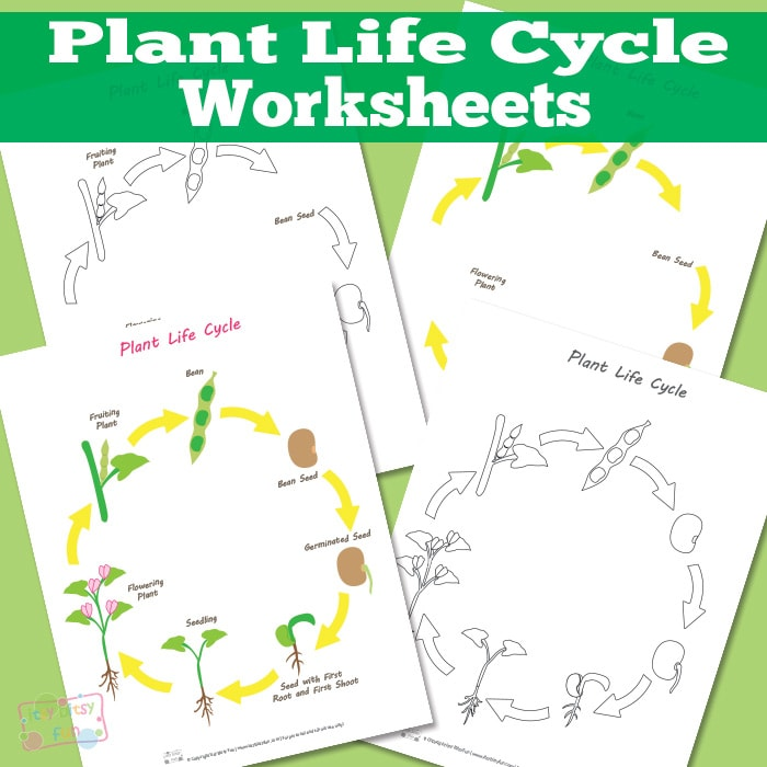 Plant Life Cycle Worksheet - Itsy Bitsy Fun