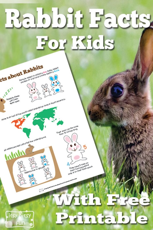 Rabbit Facts For Kids Itsy Bitsy Fun