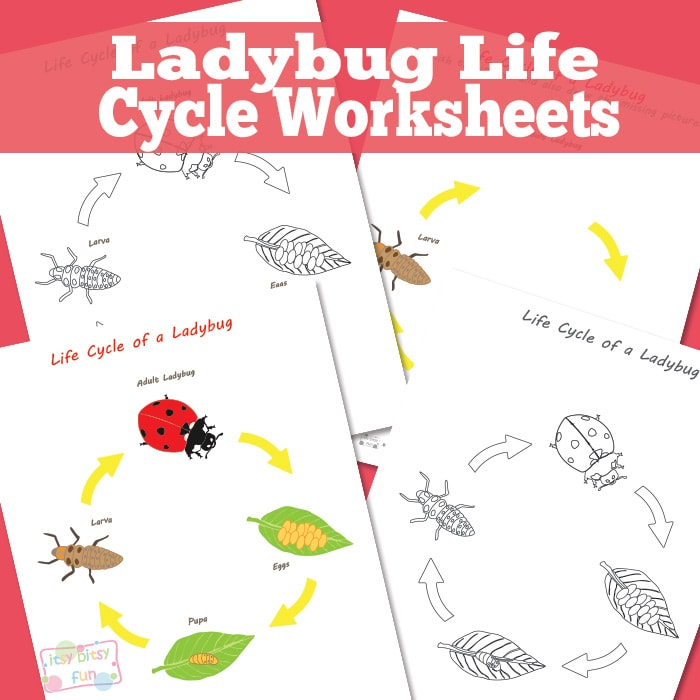 Ladybug Life Cycle Worksheets and Diagrams