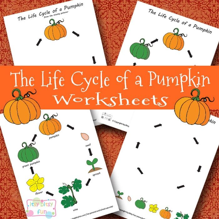 image regarding Pumpkin Life Cycle Printable identified as Lifestyle Cycle of a Pumpkin Worksheet - Itsy Bitsy Exciting